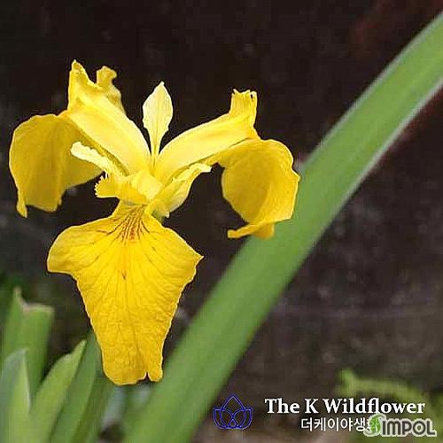 더케이 야생화 노랑꽃창포